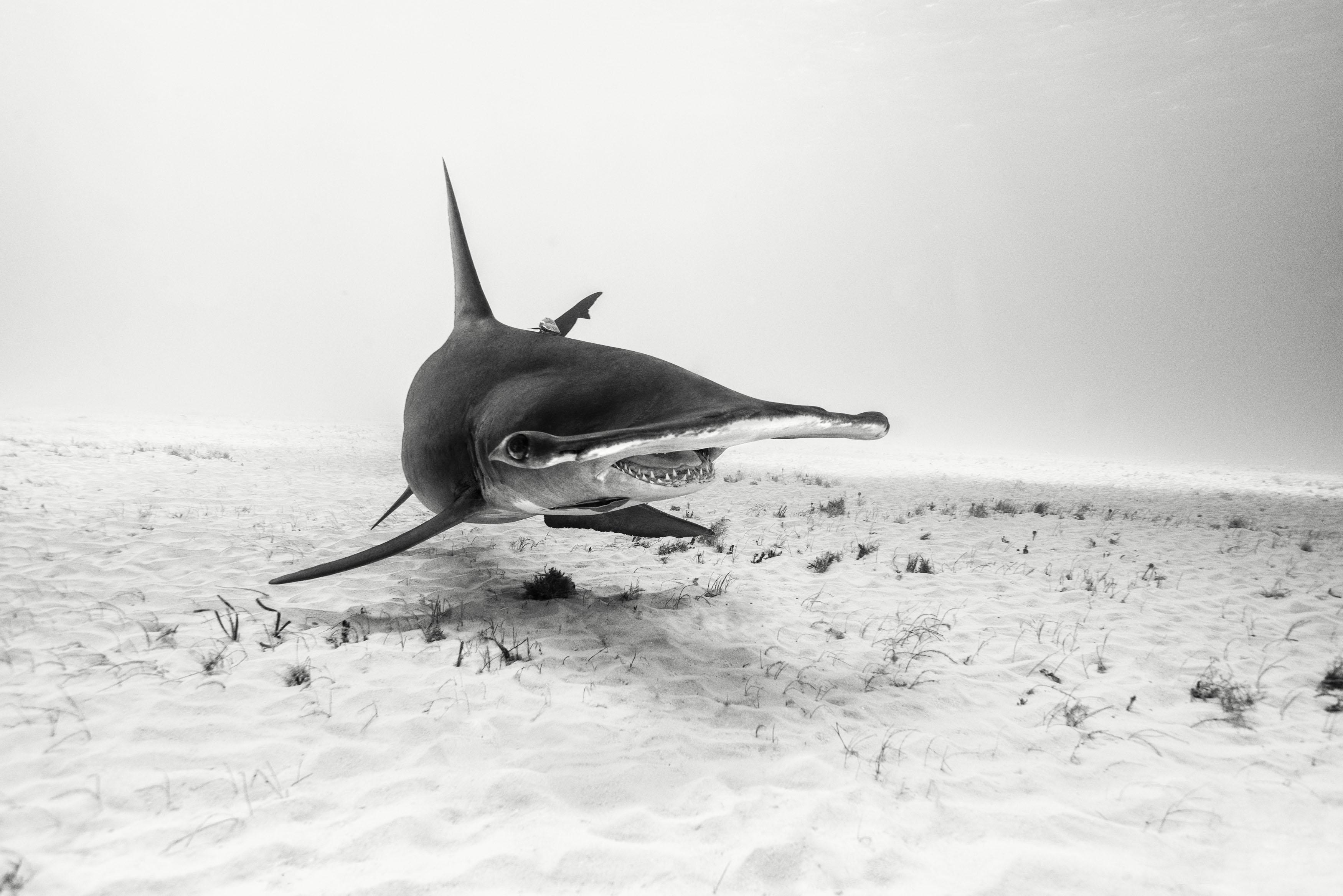 IWC_Aquatimer_Shark_1